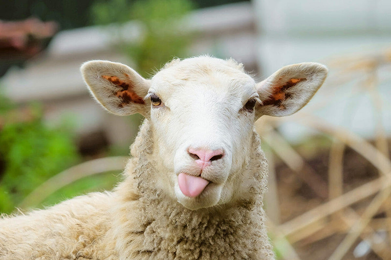 I AM The Door of the Sheep – Part 4 of 8