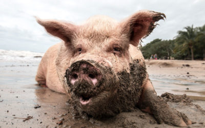 A Washed Pig Returns To The Mud